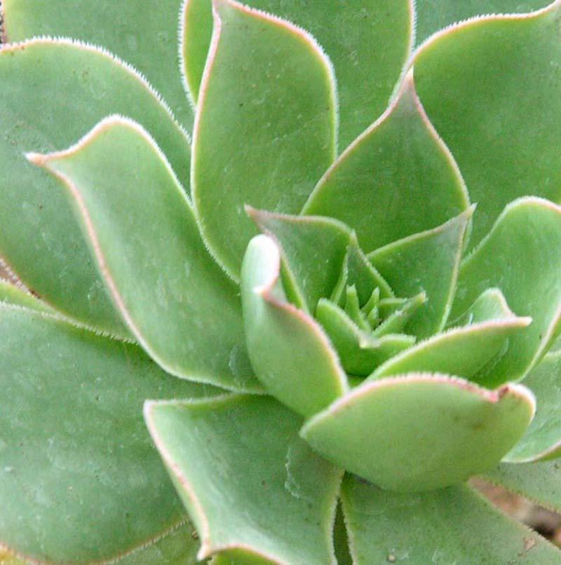 Pokojové rostliny - pokojové rostliny sukulent echeveria