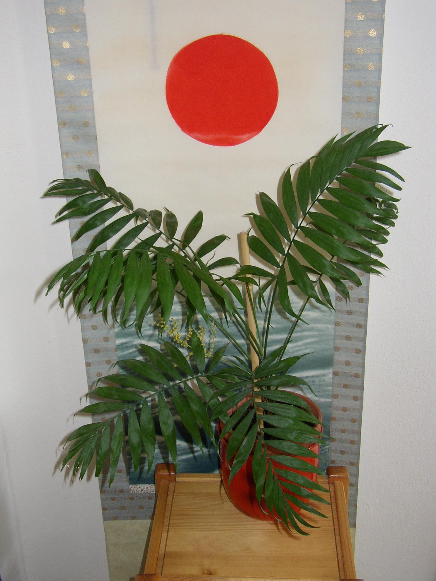 Pokojové rostliny - pokojové rostliny palma horská