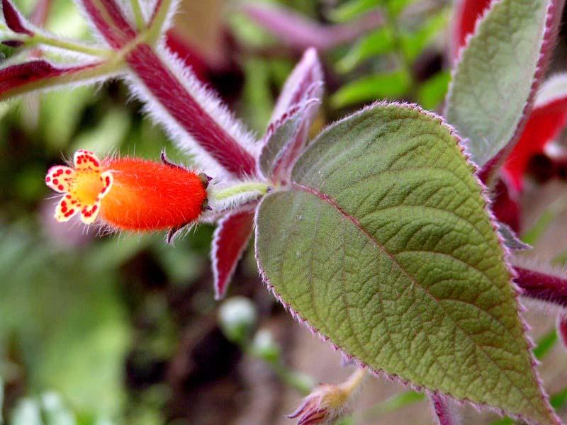 Pokojové rostliny - pokojové rostliny kohleria