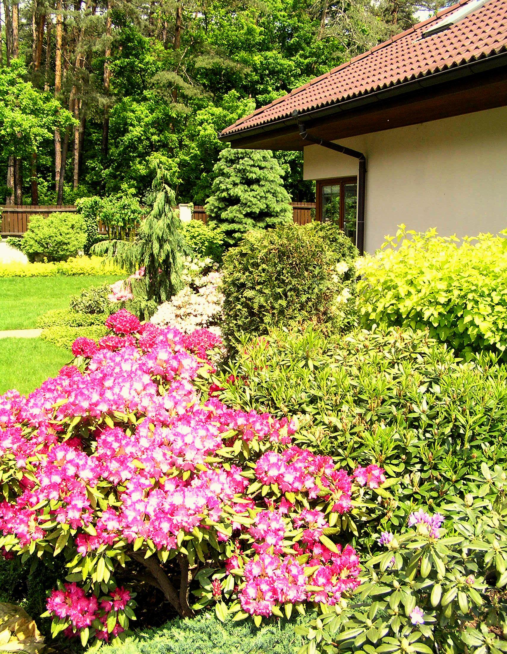 Rododendron v plném květu