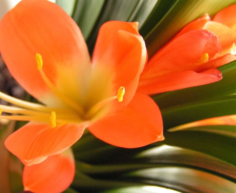 Pokojové rostliny Klivie