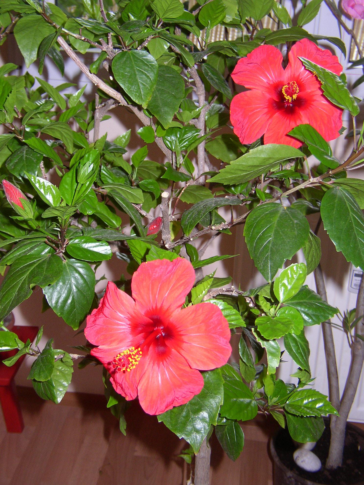 Pokojové rostliny Ibišek
