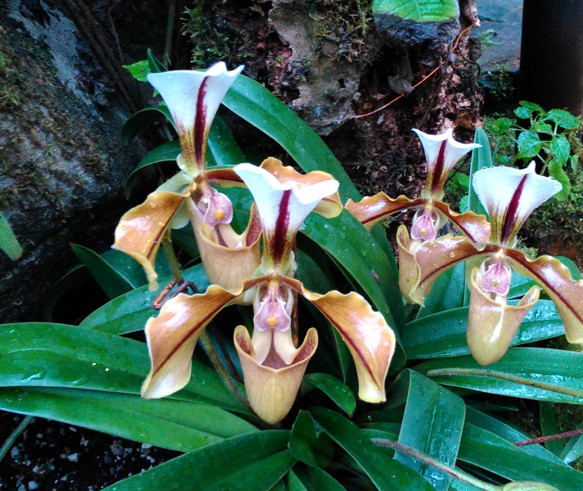 Orchideje výrazné