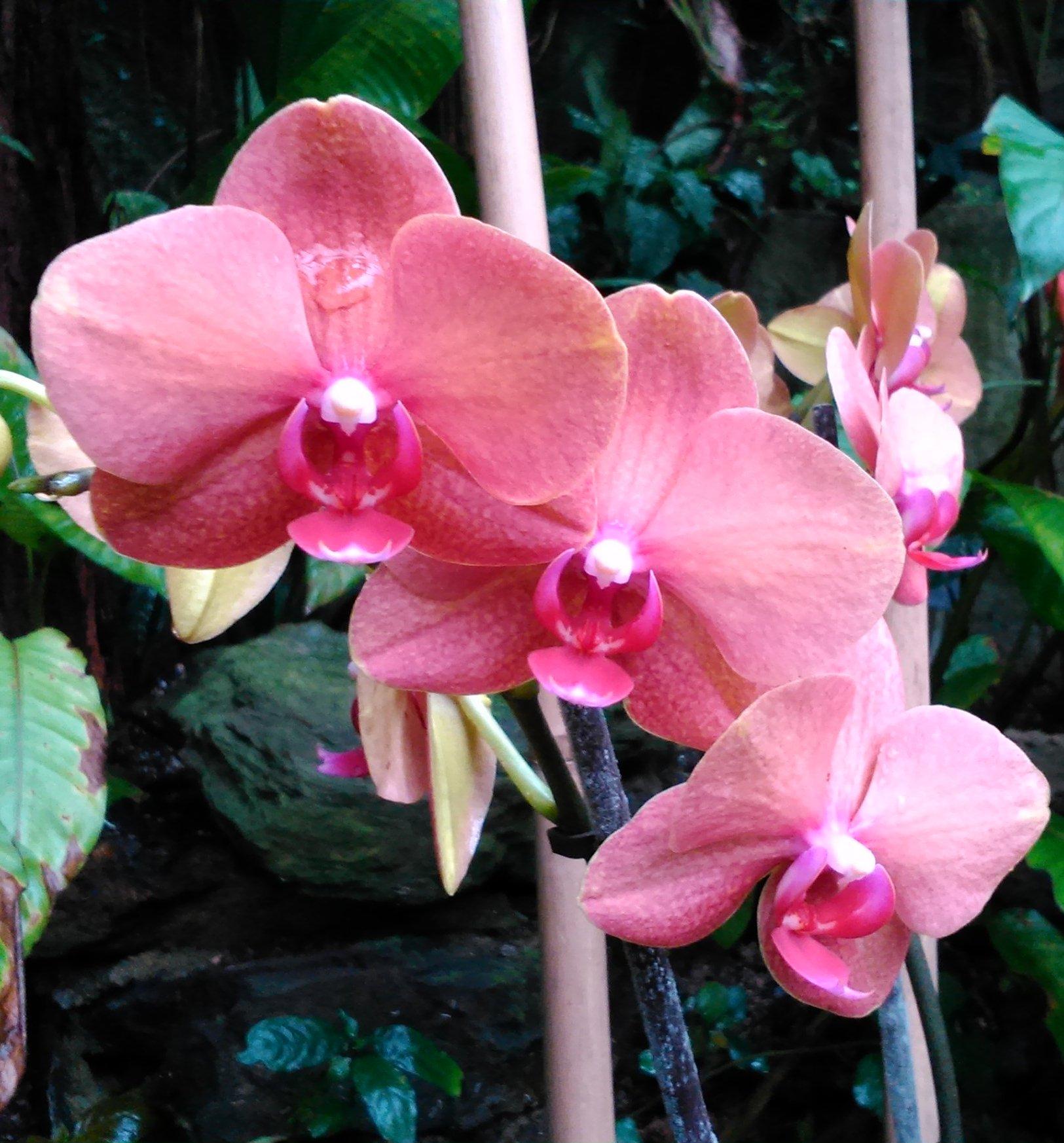 Orchidej Phalaenopsis růzová