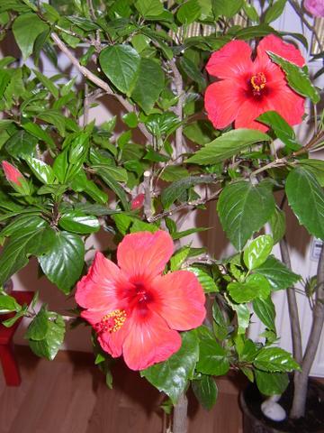 Pokojové rostliny kvetoucí