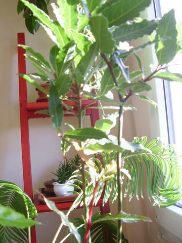 Vavřín - bobkový list