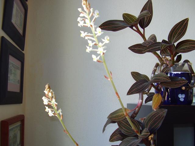 Orchidej ludisie