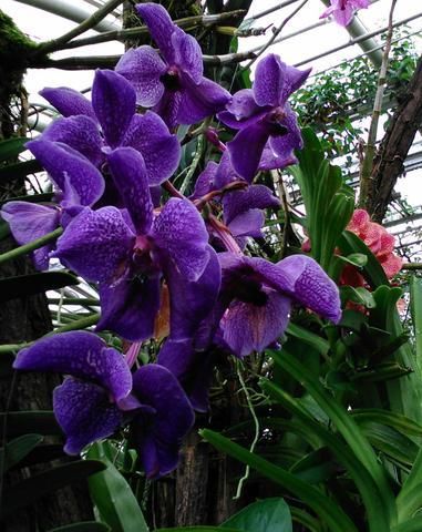 Orchidej fialová