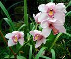 Orchideje Cymbidium