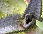Pokojové rostliny Aloe