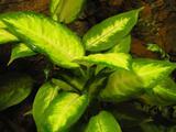 Pokojové rostliny Difenbachie