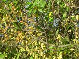 Podzimní trnky