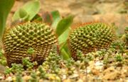 Pokojové rostliny kaktusy