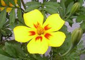 Žlutý afrikán