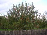 Podzimní jablka