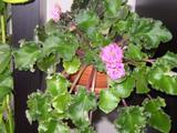Pokojové rostliny Africká fialka