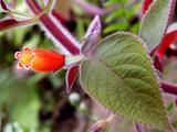 Pokojové rostliny Kohleria