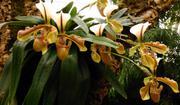 Žluté orchideje